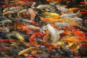 Jual Ikan Koi Air Tawar Terjangkau