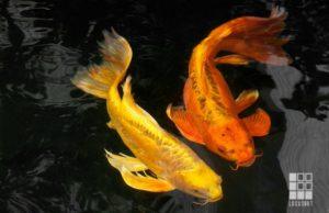 Jual Ikan Koi Mulai Berkembang