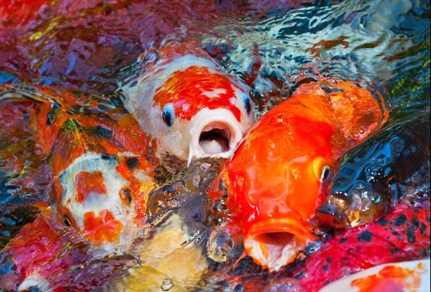 Pengaruh Fatal Punggung Jual Ikan Koi