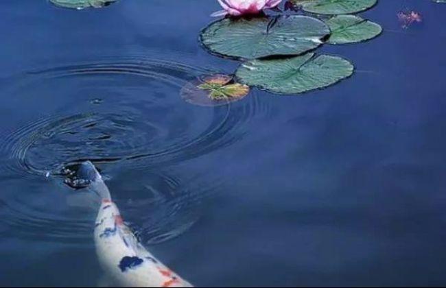 Strategi Bagus Memulai Bisnis Jual Ikan Koi