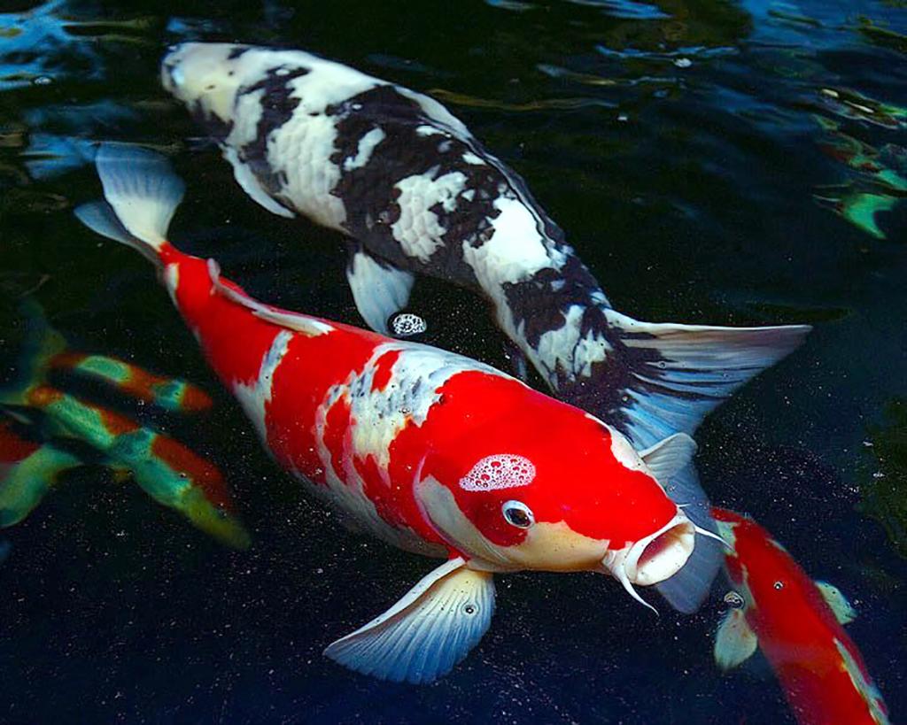 Jual Ikan Koi Terbaik Dengan Corak Bagus