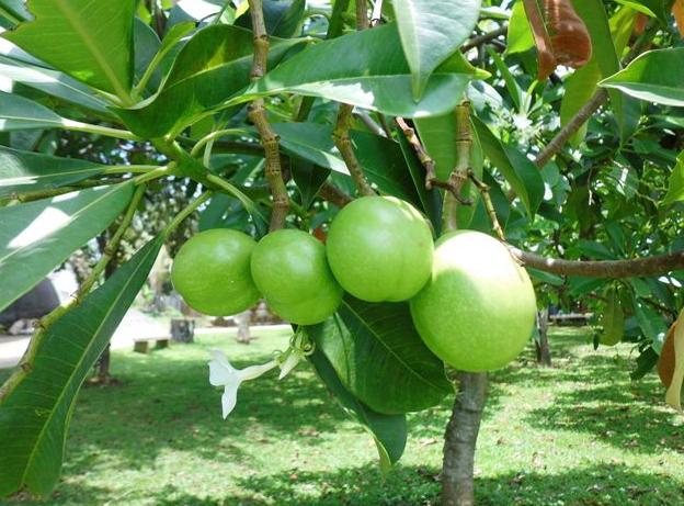 Morfologi Pohon Bintaro