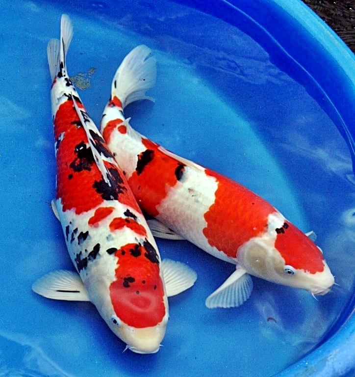 Ikan Hias Koi 15