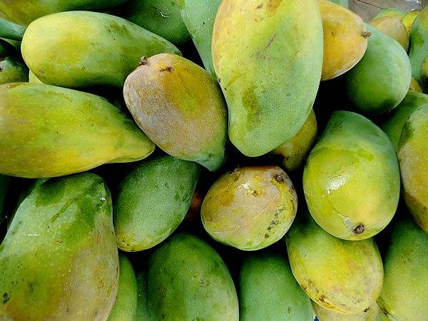 Bibit Mangga Arum Manis Harga Grosir Murah